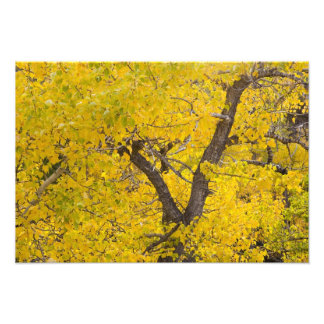 Cottonwood tree in peak fall colors in Glacier Photo Print