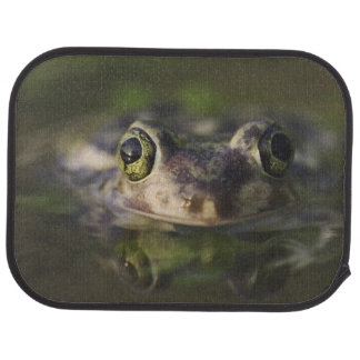 Couch's Spadefoot, Scaphiopus couchii, adult, Car Mat
