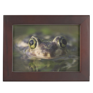 Couch's Spadefoot, Scaphiopus couchii, adult, Keepsake Box