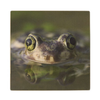 Couch's Spadefoot, Scaphiopus couchii, adult, Wood Coaster