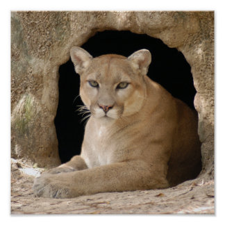 Cougar 014 poster