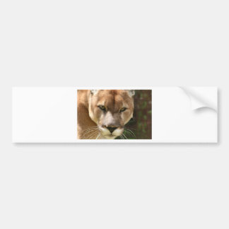 cougar eyes bumper sticker