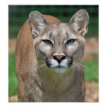 Cougar, mountain lion beautiful photo poster print