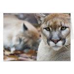 Cougar, mountain lion, Florida panther, Puma 2 Greeting Card