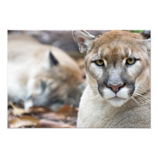 Cougar, mountain lion, Florida panther, Puma 2 Photo Print