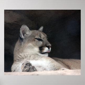 Cougar Mountain Lion Portrait Close-Up Poster