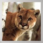 Cougar Photograph