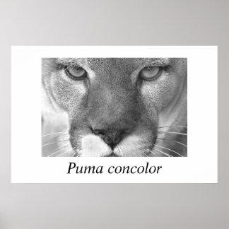 Cougar- Puma concolor Poster