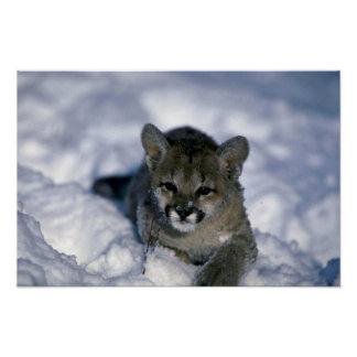 Cougar-small cub on snow poster