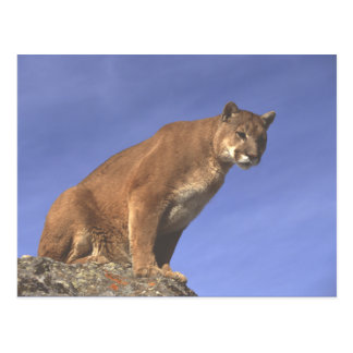 Cougar Watch Postcard