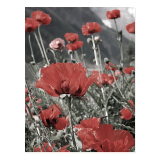 country nature landscape red poppy flower postcard