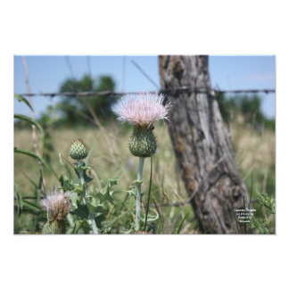 Country Thistle Photo