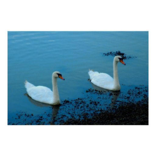 Couple of Mute Swan Poster