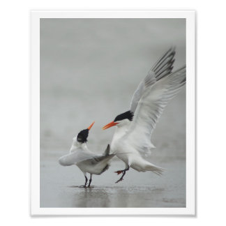 Courting Royal Terns (Sterna maxima) Photographic Print