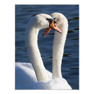 Courting Swans Photo Print