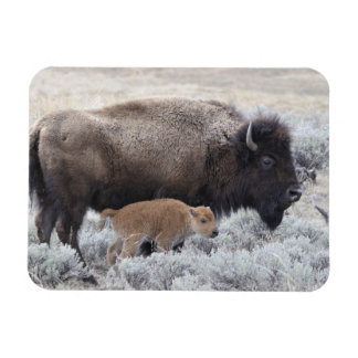 Cow and Calf Bison, Yellowstone 2 Magnet