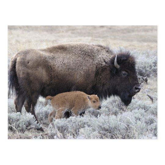 Cow and Calf Bison, Yellowstone 2 Postcard