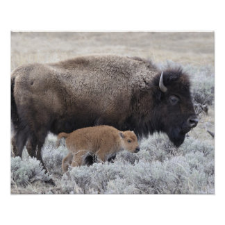 Cow and Calf Bison, Yellowstone 2 Posters