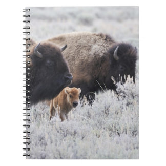 Cow and Calf Bison, Yellowstone Notebook