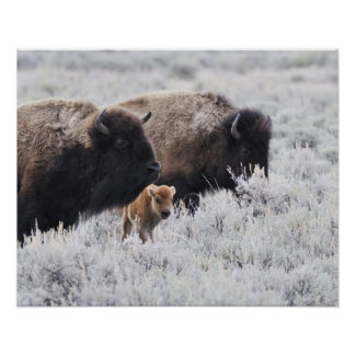 Cow and Calf Bison Yellowstone Print