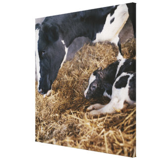 Cow and Calf in Hay Canvas Print