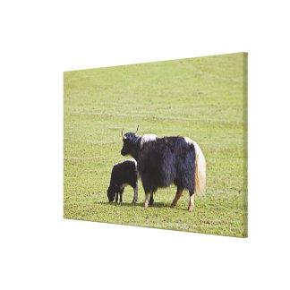 Cow and calf Yak, Lijiang Canvas Print