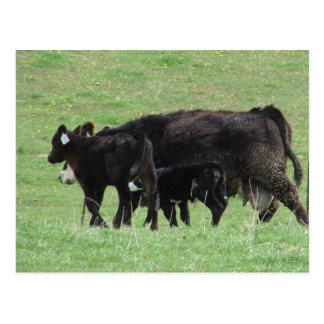 Cow and Calves Postcard