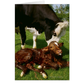 Cow and newborn calf card