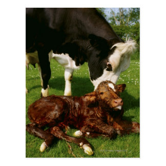 Cow and newborn calf postcard