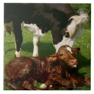 Cow and newborn calf tile