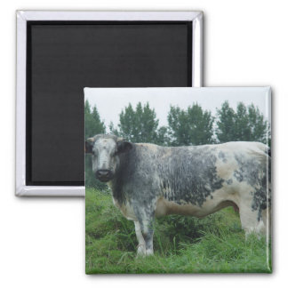 Cow Belgian Blue Square Magnet