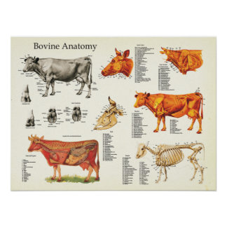 "Cow Bovine Anatomical Chart - 18"" X 24"" Poster"
