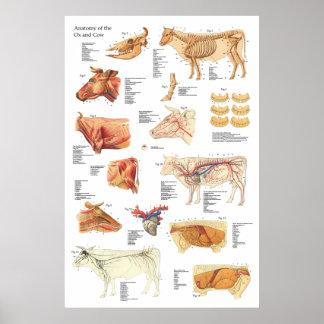 "Cow Bovine Anatomy Chart 24"" X 36"" Poster"