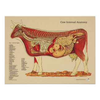 Cow Bovine Veterinary Internal Anatomy Chart