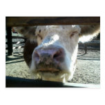Cow By Bernadette Sebastiani Post Card