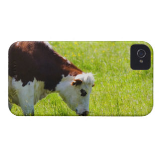 Cow grazing in a field, Loire Valley, France iPhone 4 Case