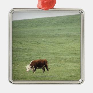 Cow grazing in meadow, Nova Scotia, Canada Christmas Ornament