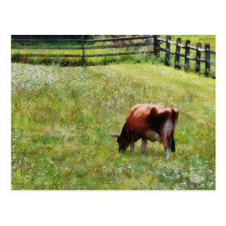 Cow Grazing in Pasture Postcard