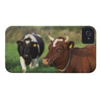 Cow grazing, Sweden. iPhone 4 Covers