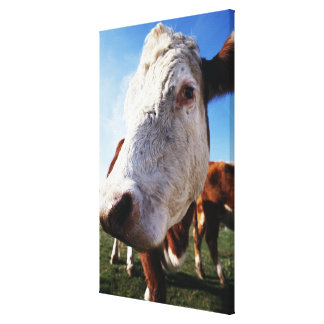 Cow in field, close-up canvas print