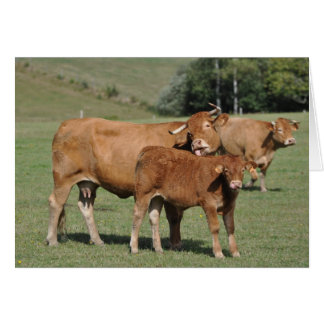 Cow licking calf birthday greeting card