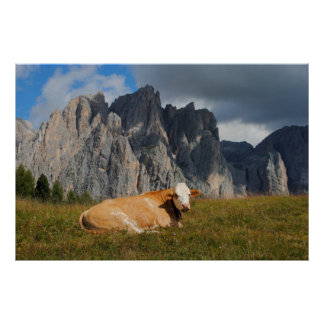 cow looking at camera with Dolomites background Poster