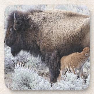 Cow Nursing Bison Calf, Yellowstone 2 Coaster