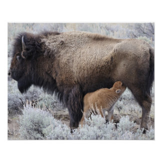 Cow Nursing Bison Calf, Yellowstone 2 Poster