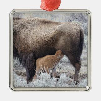 Cow Nursing Bison Calf, Yellowstone 2 Silver-Colored Square Decoration