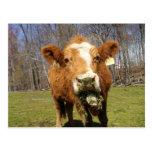 Cow Postcard 1