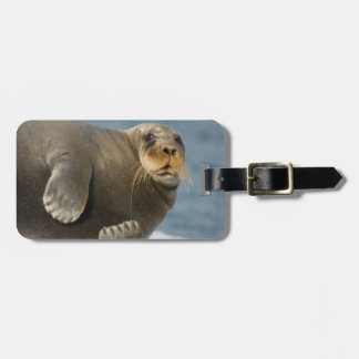 Cow rests on sea ice floating along the coast luggage tag