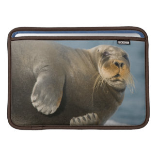 Cow rests on sea ice floating along the coast sleeve for MacBook air