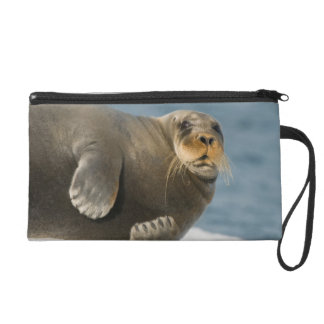 Cow rests on sea ice floating along the coast wristlet