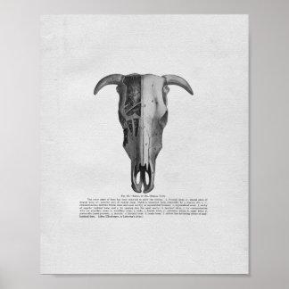 Cow Skull Anatomy Vintage Print